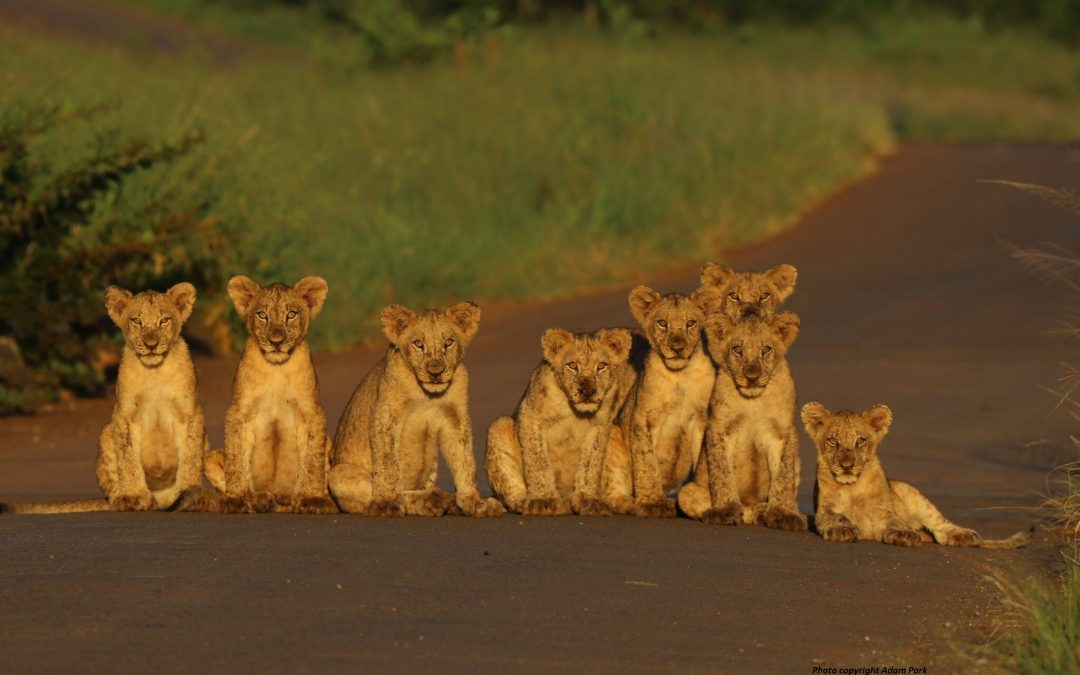 Volunteering with Lions – What You Should Know
